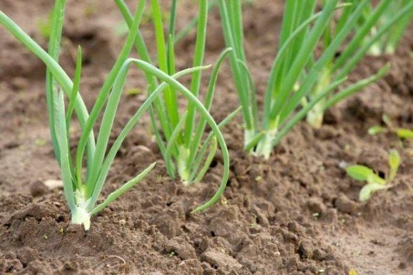 Зимний лук - секреты выращивания и свежий репчатый лук весной