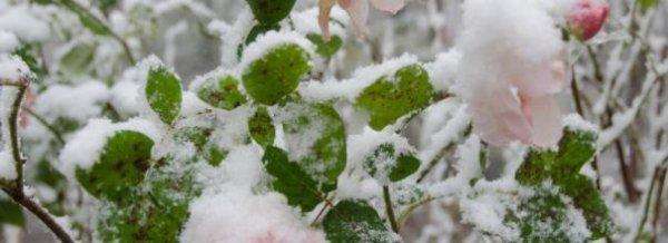 Как укрыть розы на зиму правильно, в том числе на Урале