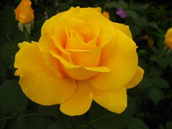 Роза чайно-гибридная фото и описание сорта, посадка и уход