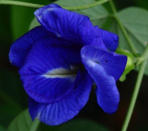 Клитория – красивоцветущее и очень целебное растение