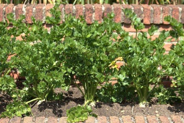 Выращиваем сельдерей - посадка и уход с фото и видео