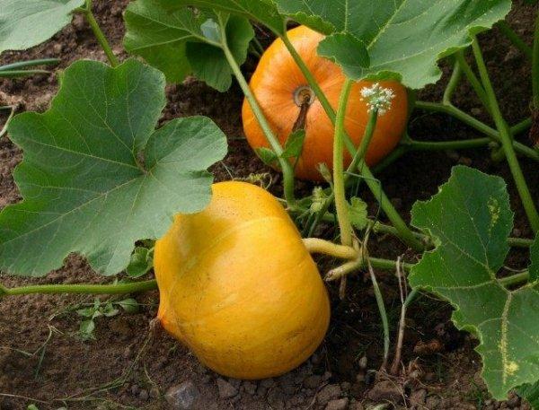 Как вырастить тыкву