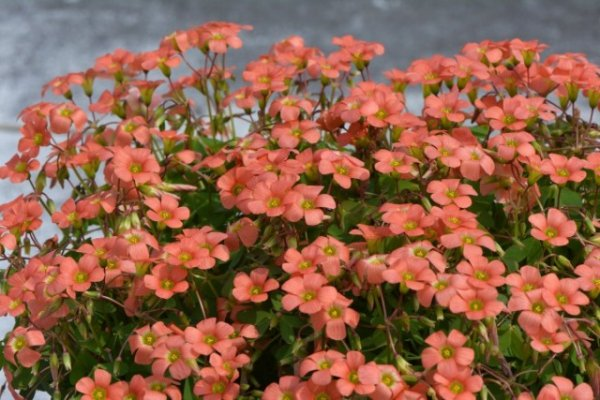 Кислица или Оксалис — чуткие «бабочки» на подоконнике. Виды, уход в домашних условиях. Фото и видео