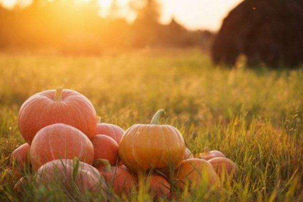 Тыква – выращивание, посадка и уход, сорта с фото и видео