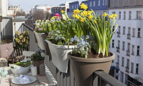 Весенние луковичные цветы на балконах и лоджиях - когда сажать и как ухаживать