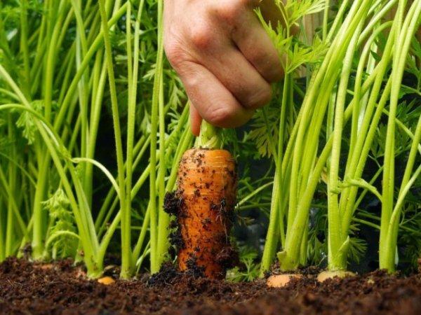 Как вырастить крупную и сладкую морковку с фото и видео