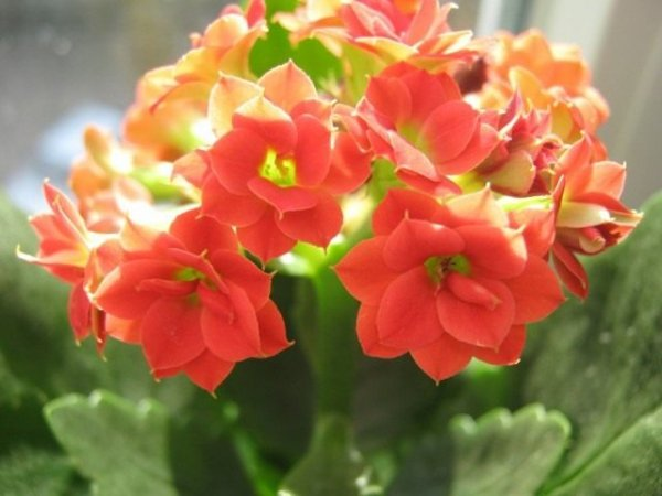 Каланхоэ Блоссфельда почему не цветет? Уход в домашних условиях