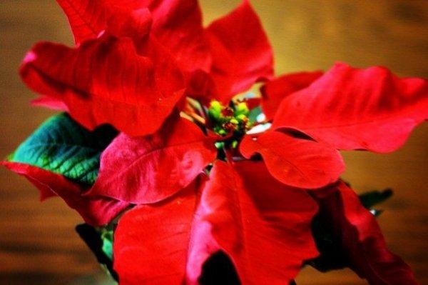 Рождественская звезда Пуансеттия с фото и видео