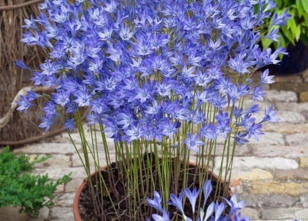 Комнатная бродиэя — роскошные синие акценты в интерьере. Виды. Уход в домашних условиях, фото и видео