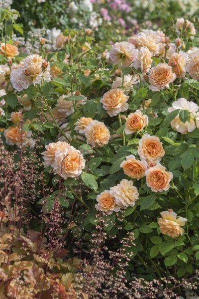 Как посадить розу правильно - посадка роз с фото и видео