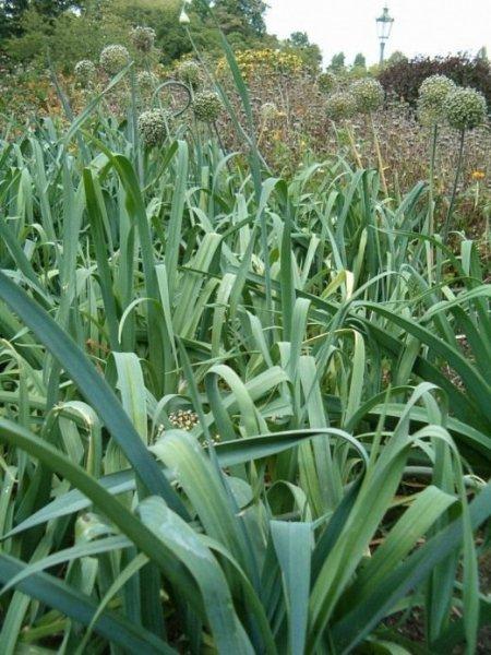 Многолетний лук посадка и уход, сорта на зелень с фото