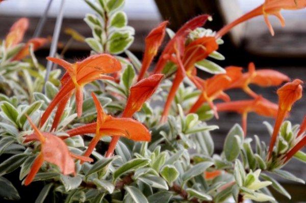 Колумнея — алые цветы и непростой характер. Уход в домашних условиях. Фото и видео
