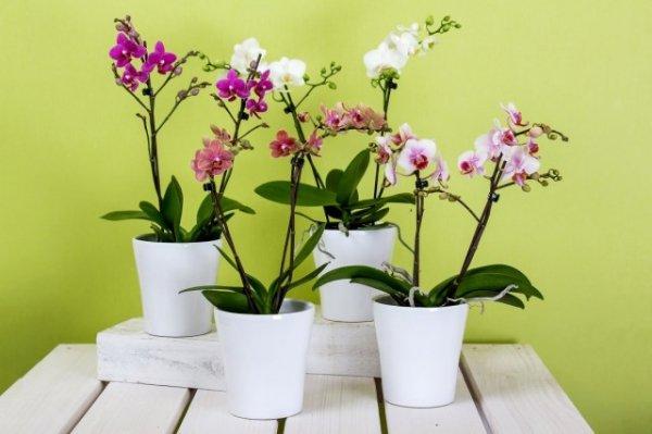 Как продлить цветение орхидеи - способы и советы