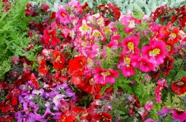 Схизантус - уход, посадка, выращивание из семян с фото и видео
