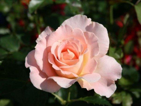 Роза Рококо фото и описание сорта, посадка и уход