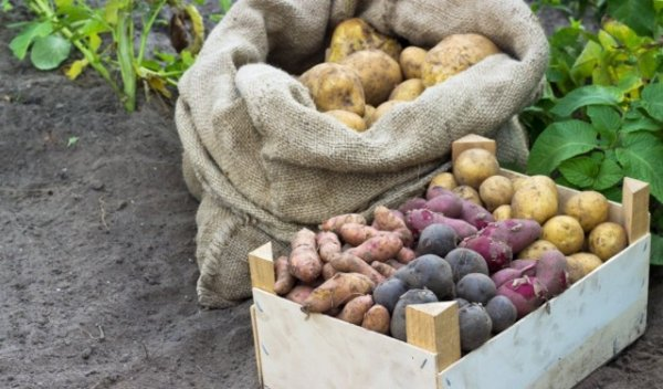 Лучшие сорта картофеля для различных регионов с фото