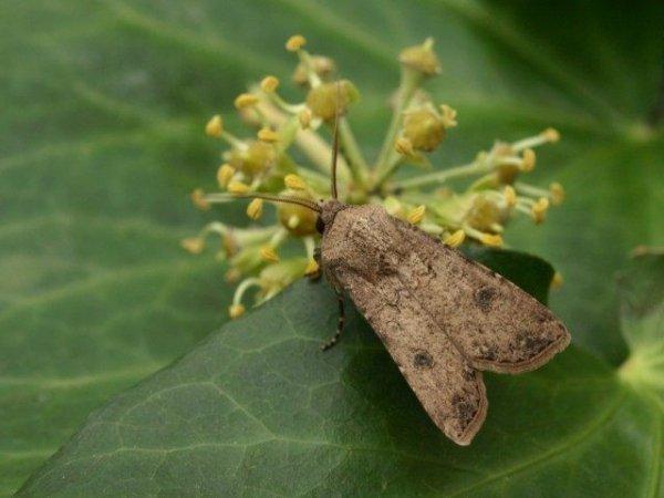 Совка фото - описание и методы борьбы с бабочкой вредителем