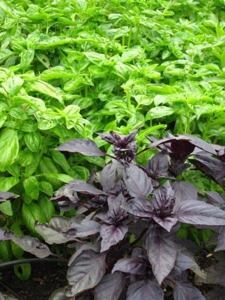 Какие растения отпугивают комаров и мух в саду?