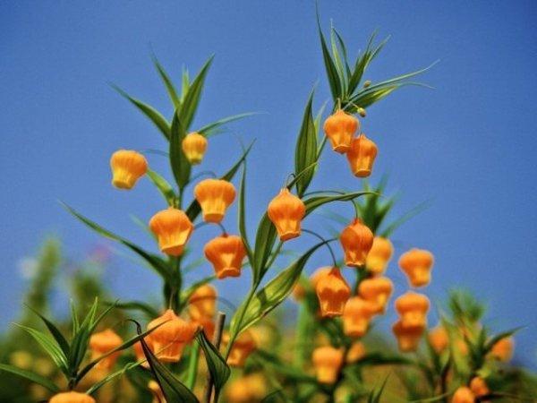 Сандерсония - выращивание, посадка и уход с фото и видео