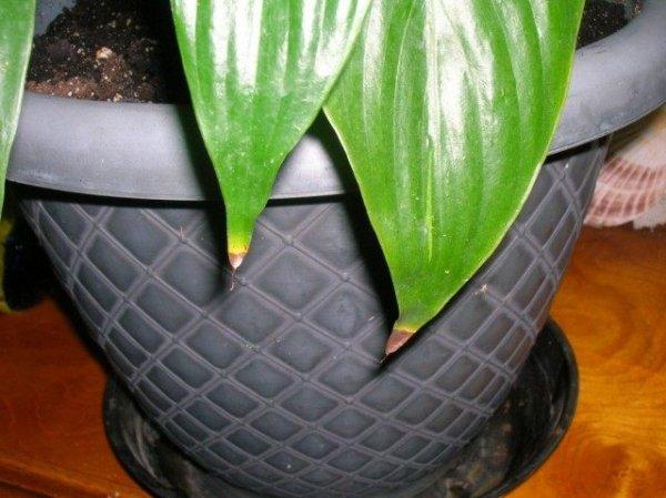 Почему сохнут кончики листьев у комнатных растений? Фото и видео