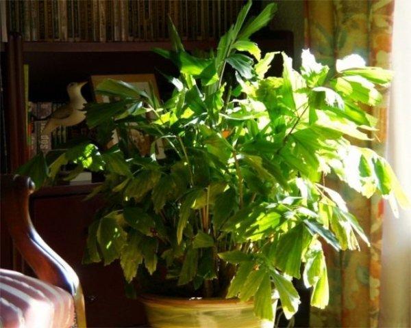 Пальма кариота - уход в домашних условиях с фото и видео