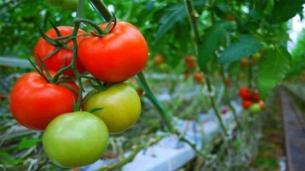 Календарь ухода за помидорами по месяцам 2019 года