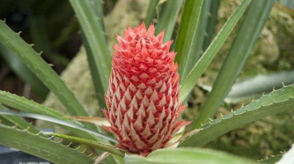 Псевдананас — отличная альтернатива комнатным ананасам. Ананас Сагенариуса. Уход в домашних условиях. Фото и видео