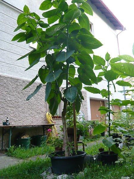 Тамарилло фрукт - фото и описание, как кушать плоды томатного дерева