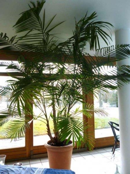 Асаи - уход и выращивание в домашних условиях с фото и видео