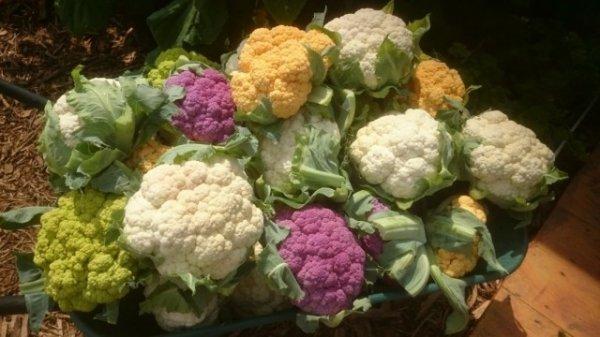 Как вырастить крупную цветную капусту на даче или в саду