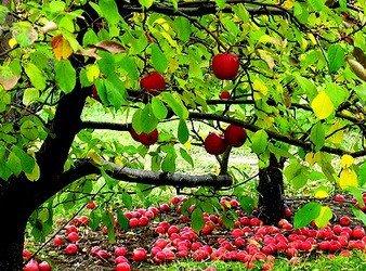 Малина в саду - особенности ремонтантных сортов