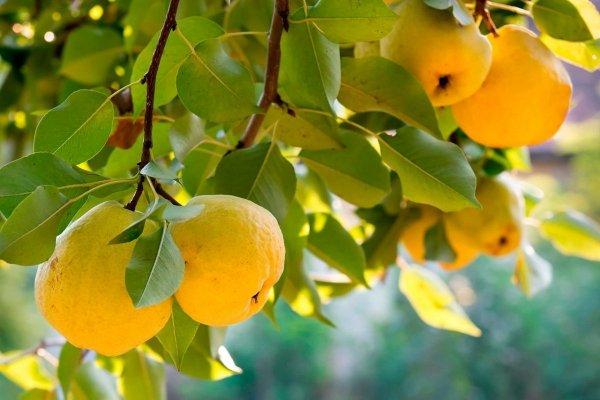 Айва польза и вред, как едят и рецепты приготовления