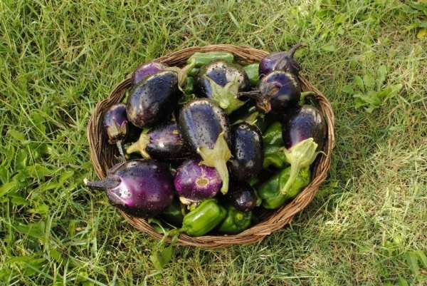 Баклажаны на рассаду – выращивание баклажанов и уход за ними в открытом грунте