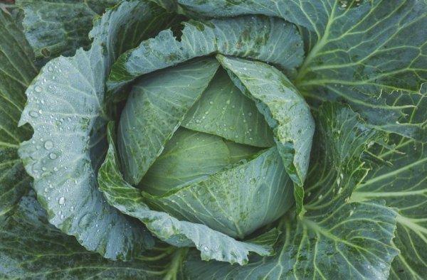 Как вырастить капусту на даче? Выращивание капусты в открытом грунте