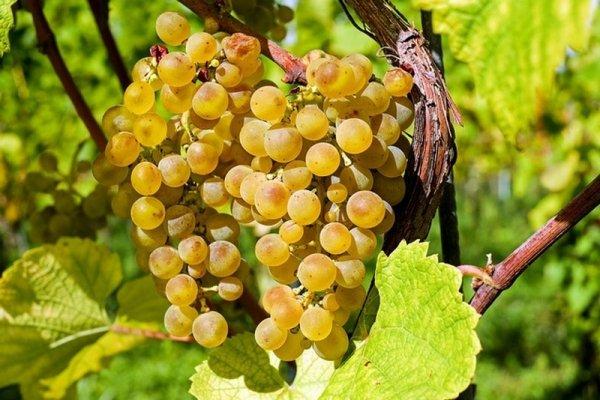 Выращивание винограда в Подмосковье и в средней полосе - правила и способы