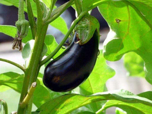 Выращивание баклажан в Подмосковье - как посадить и вырастить семена