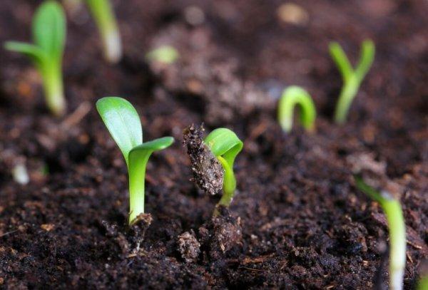 Как сажать цветную капусту