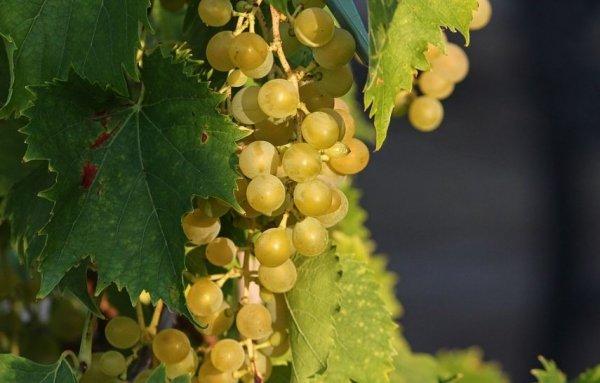 Когда и как высаживать черенки винограда на рассаду дома