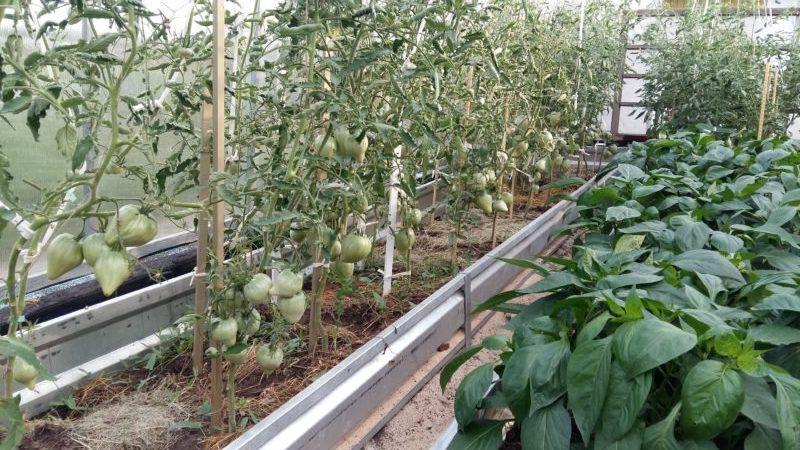 Лучшие сорта томатов помидоров для теплицы из поликарбоната
