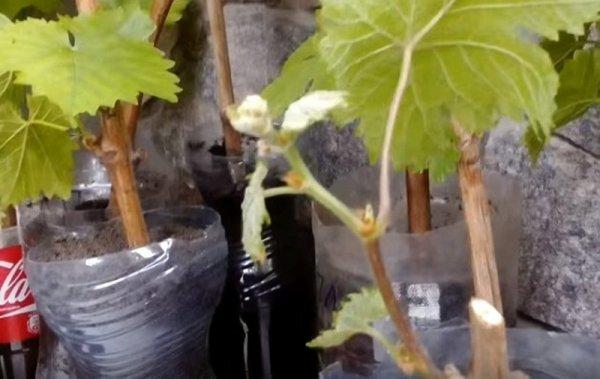 Выращивание винограда из черенков в домашних условиях и подготовка к посадке