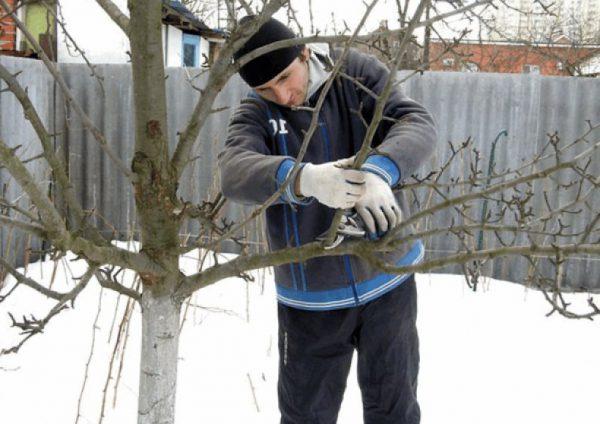 Что делать, если дерево пострадало зимой от мороза