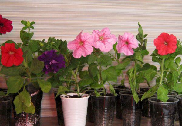 Как вырастить кустовую петунию из семян в домашних условиях