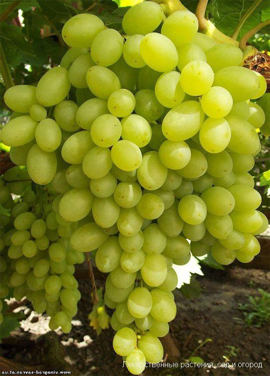 Сорт винограда Столетие - описание с фото, отзывы