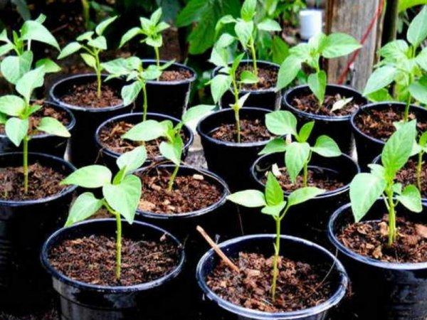 Когда сеять перец и томаты на рассаду в 2019 году