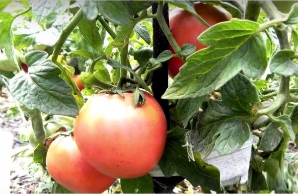 Низкорослые помидоры для открытого грунта без пасынкования