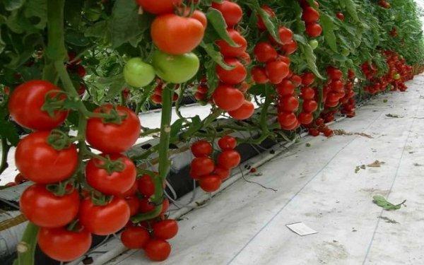 Сорта помидор сибирской селекции с фото и описанием