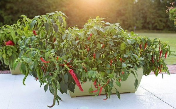 выращивание перца дома из семян
