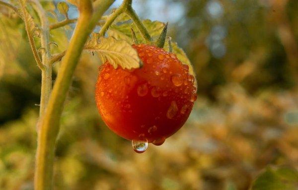 Ранние помидоры для теплицы из поликарбоната - лучшие сорта