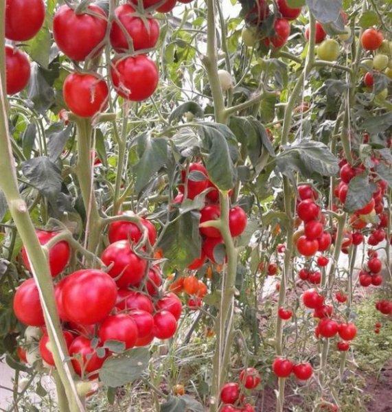 Сладкие крупные помидоры для теплиц. Самые лучшие сорта