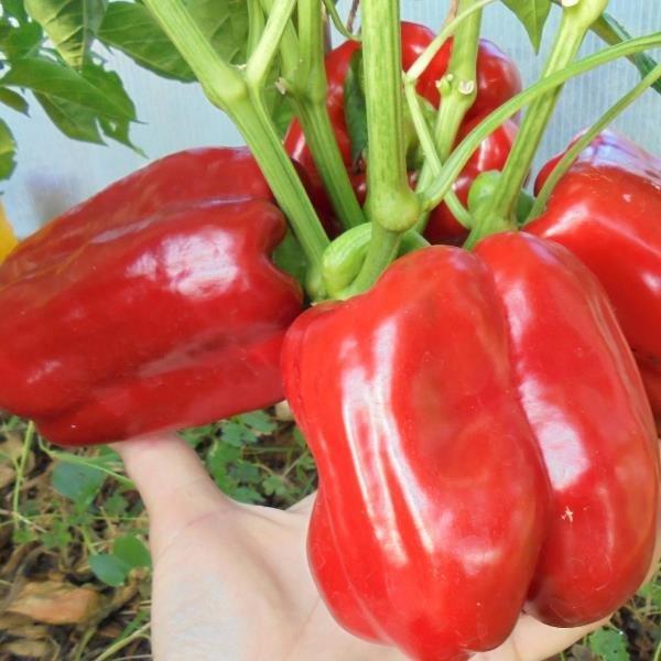 Перец описания сортов с фото и урожайностью каждого сорта